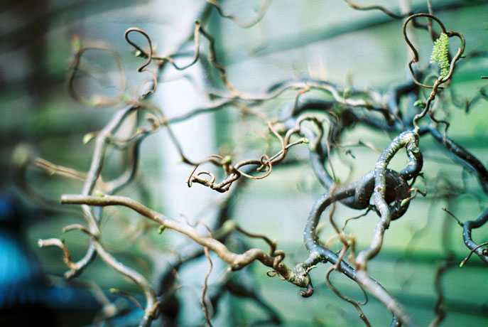 pentax k1000 - curly willow