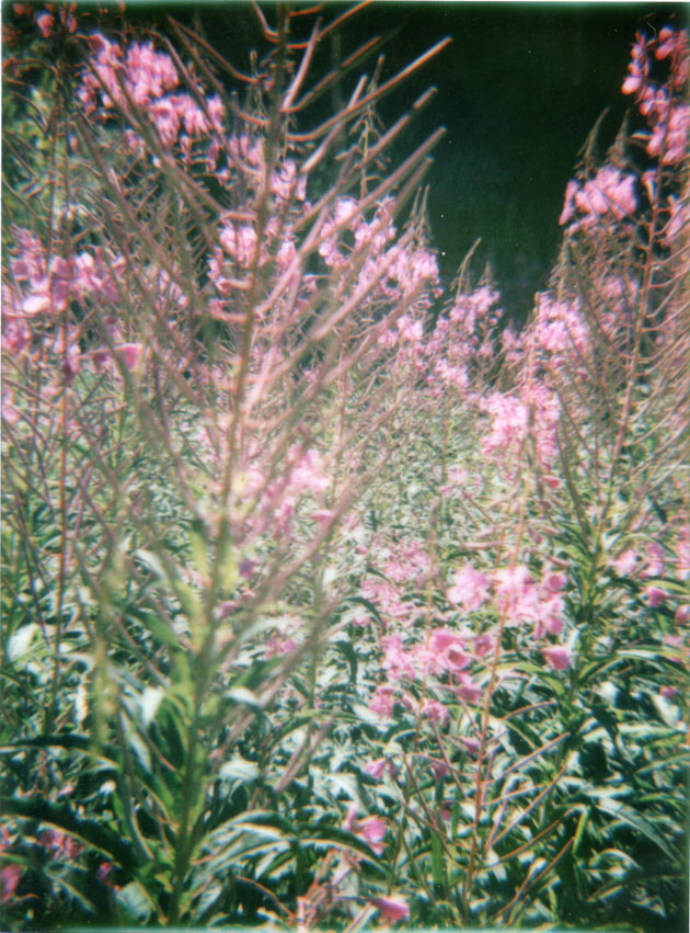 purple flowers - diana f+ with instant back