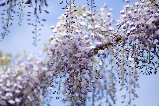 wisteria - 85mm f/1.8 lens