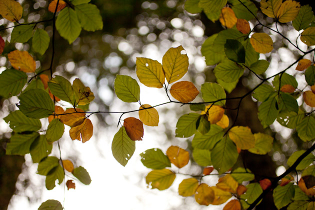more beech leaves
