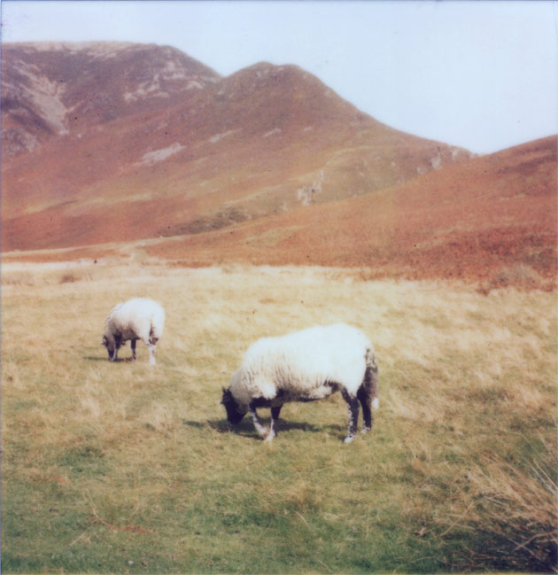 polaroid - lake district sheep
