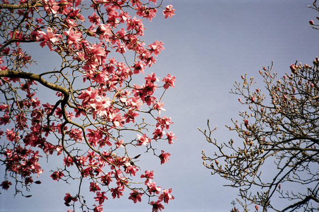 magnolia - taken with Konica C35