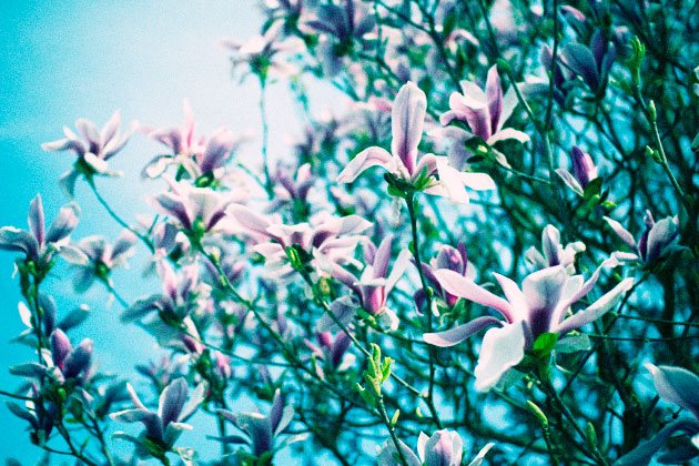 cross processed (cyan) - magnolias