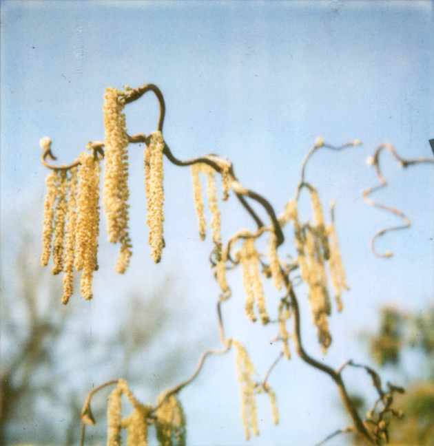 polaroid of yellow catkins