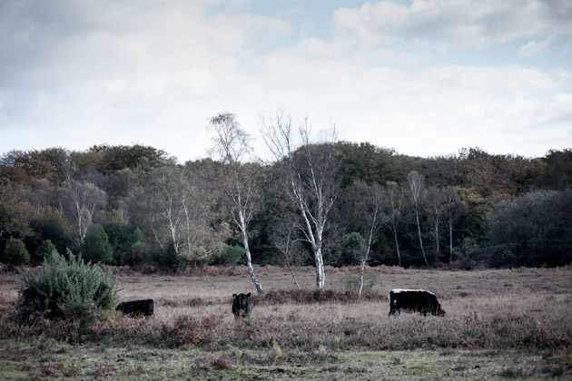 cows - new forest
