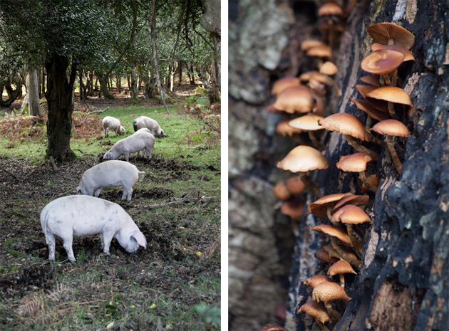 piggies and fungi - new forest