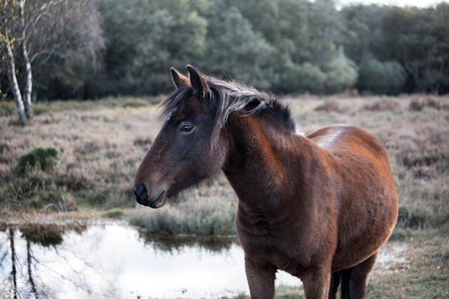 pony - new forest