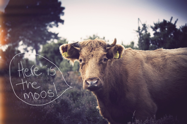 cow - here is the moos