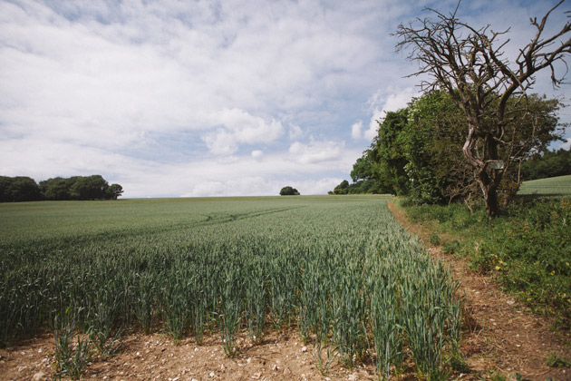 alton - hampshire - green wheat