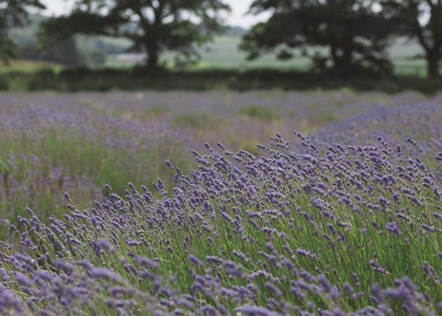 alton - hampshire - lavender 2