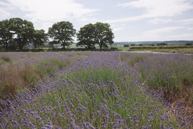 alton - hampshire - lavender 1
