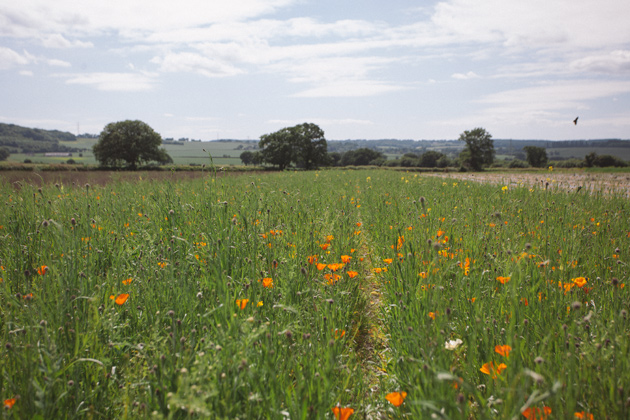 alton - hampshire - orange poppies