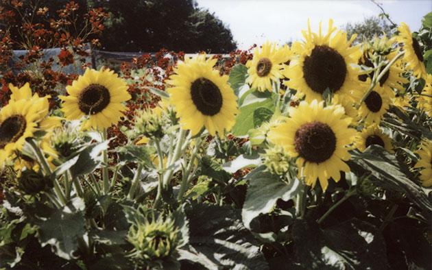 fuji instax 200 - sunflowers