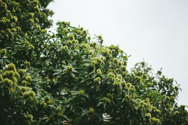 chestnuts