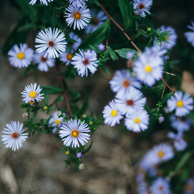 asters (I think)